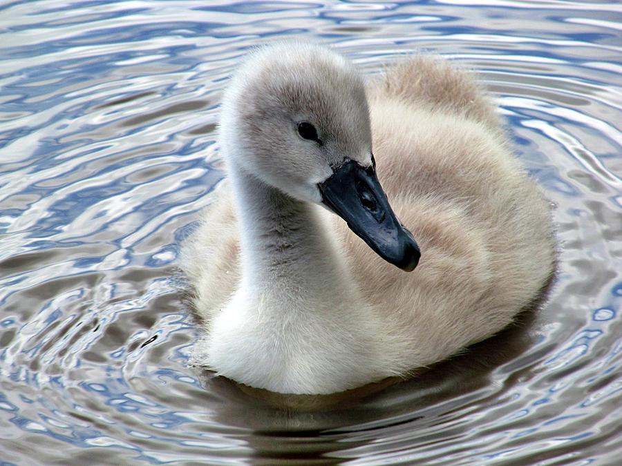 Cygnet Swan by Rachel Maytum