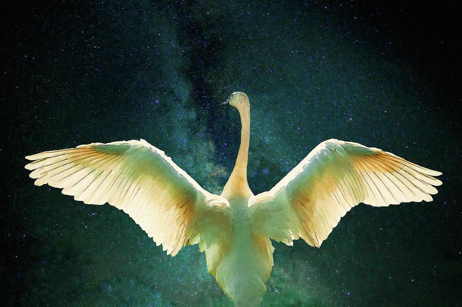 Cygnus by Helen White