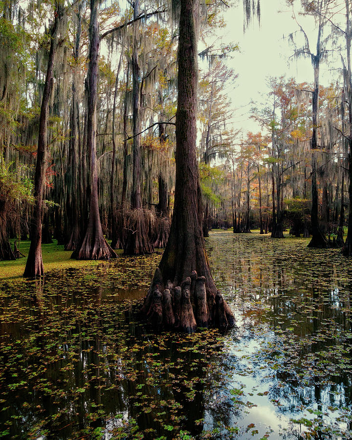 Cypress Forest by Lana Trussell