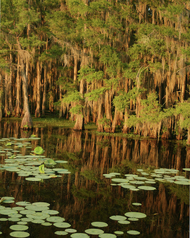 Cypress In The Lake Photograph by Jlfcapture