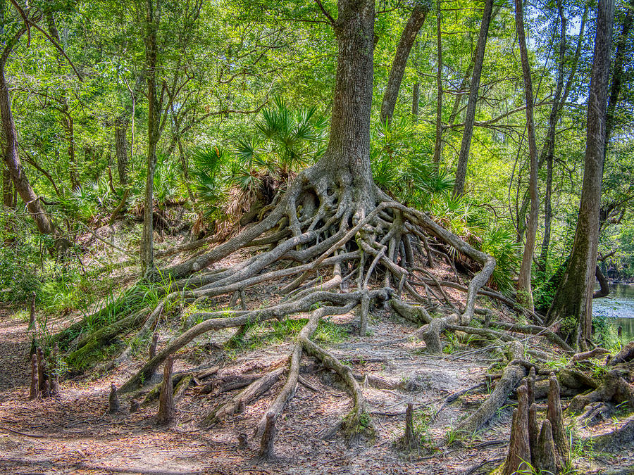 Cypress Roots Exposed by Farol Tomson