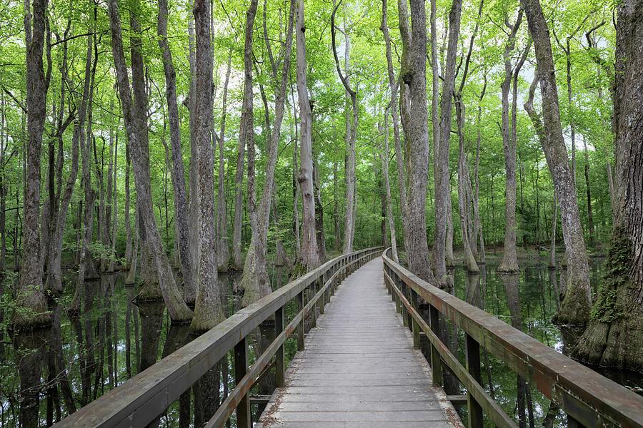 Cypress Swamp Boardwalk by Susan Rissi Tregoning