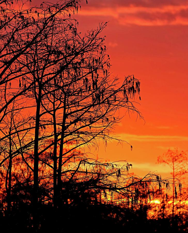 Cypress Swamp Sunset by Steve DaPonte