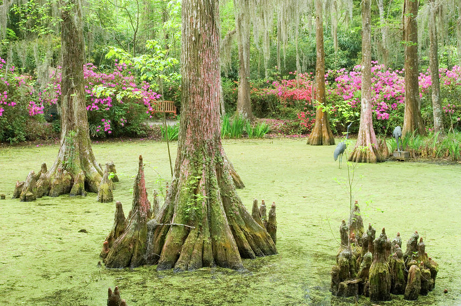 Cypress Swamp Photograph by Tony Sweet