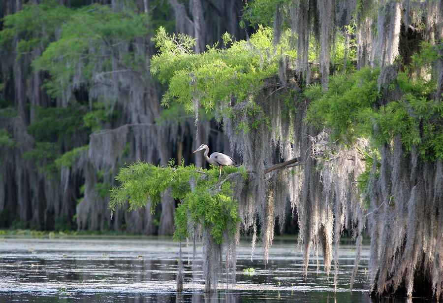 Cypress Swamp With Great Blue Heron Photograph by Jlfcapture