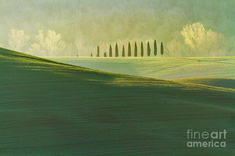 Cypress Tree Lines Photograph