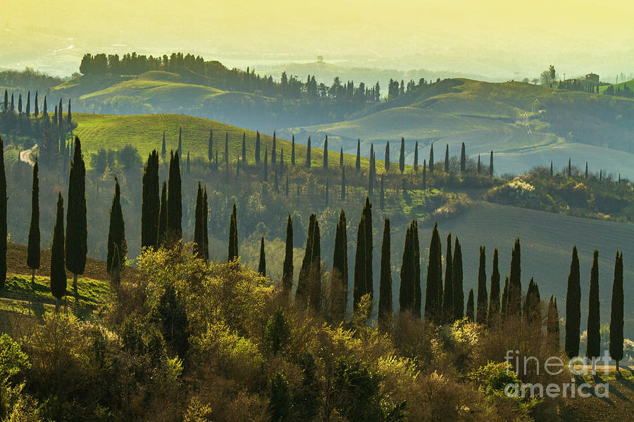 Cypress Trees In Tuscany-1 Photograph