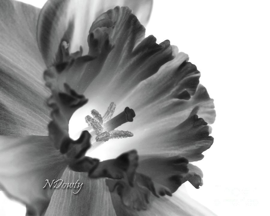 Daffodil Cornered by Natalie Dowty