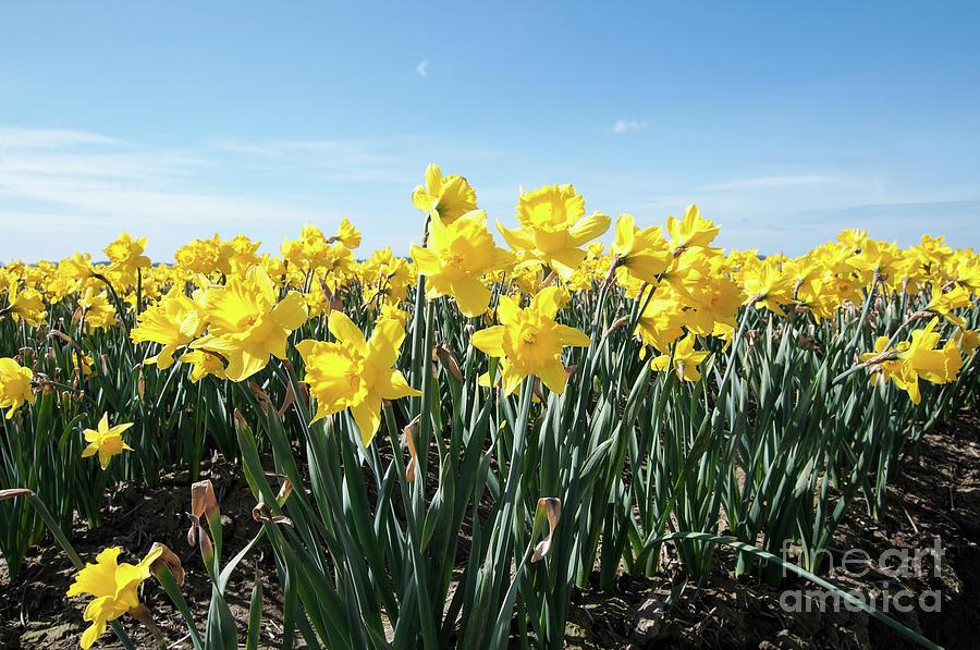 Daffodil Flowers in Flower Field Landscape by Valerie Garner