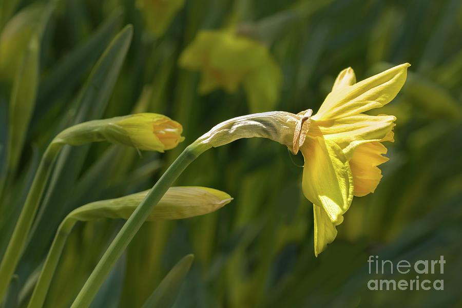 Daffodils Photograph - Daffodil In Sun by Marilyn Cornwell