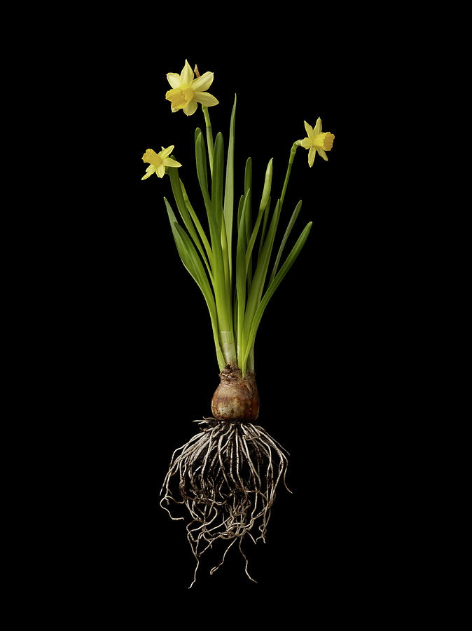 Daffodil Plant On Black Background Photograph by William Turner