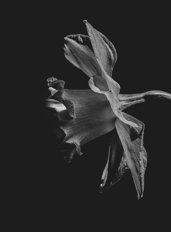 Daffodil Side View Black and White by Keith Smith