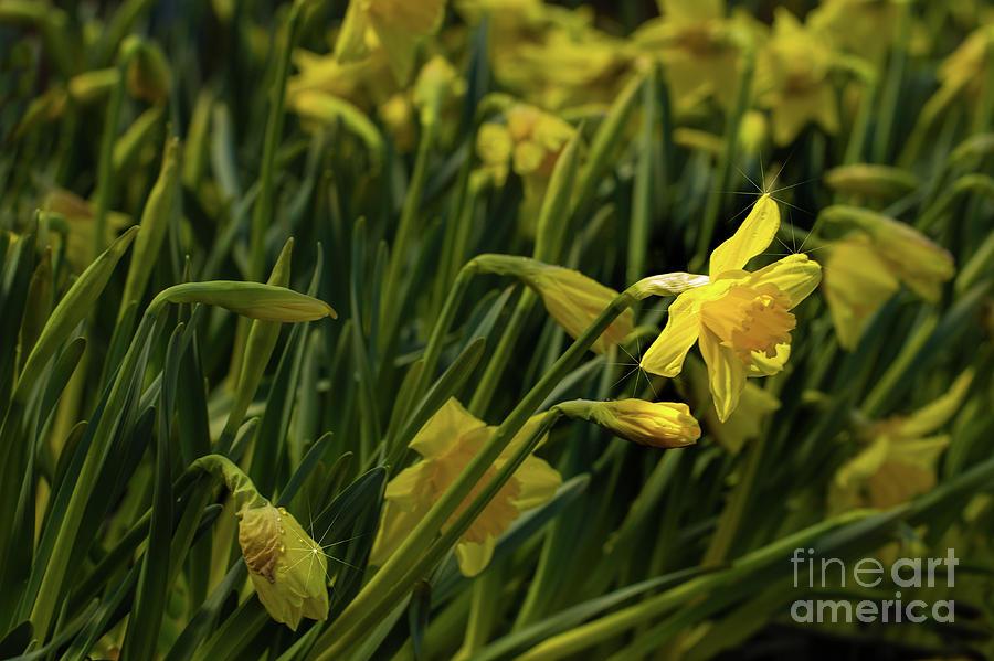 Daffodils Photograph - Daffodil Starlight by Marilyn Cornwell