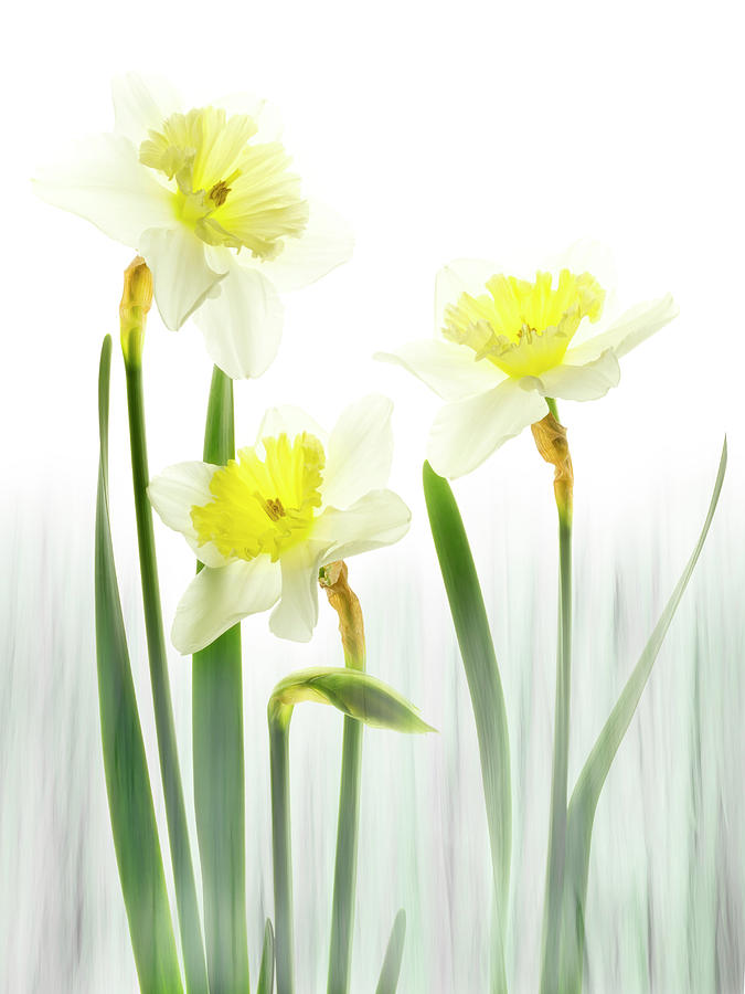Daffodils in a meadow. by Usha Peddamatham