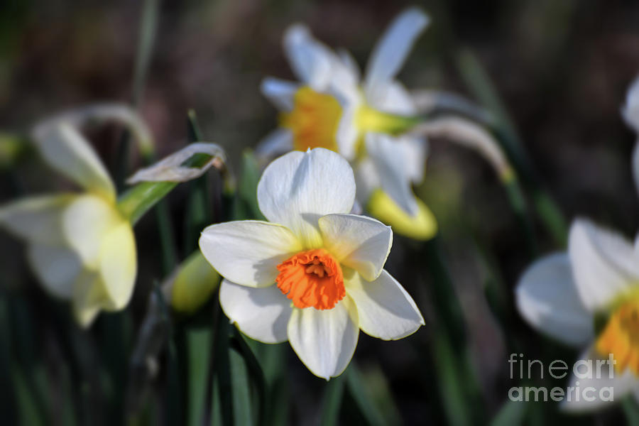 Daffodils In The Garden by Kerri Farley