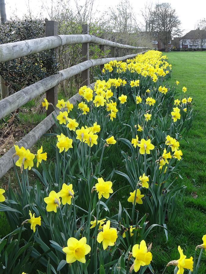 Daffodils by June Walker