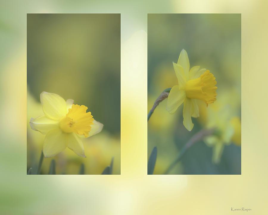 Daffodils by Karen Rispin