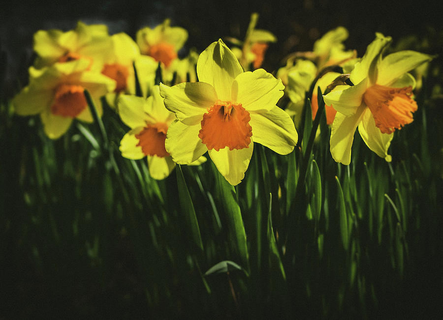 Daffodils  by Steve Stanger