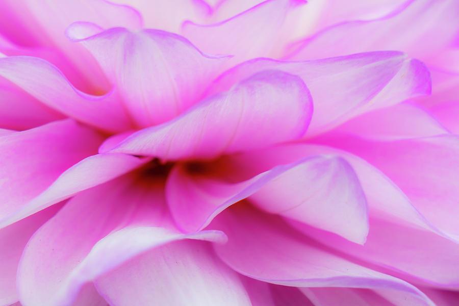Dahlia Photograph - Dahlia 3 by Janet Fikar