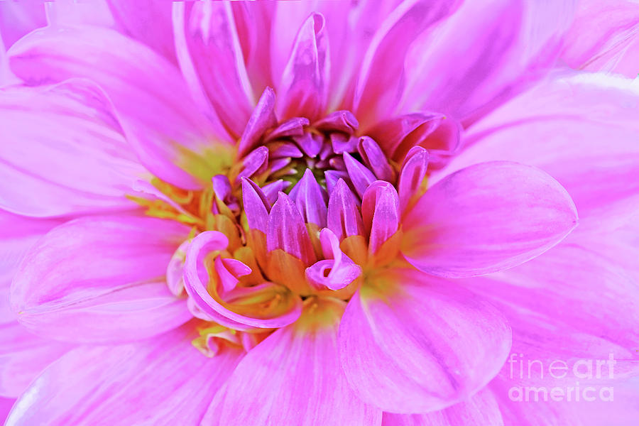Dahlia Beauty In Pink Photograph