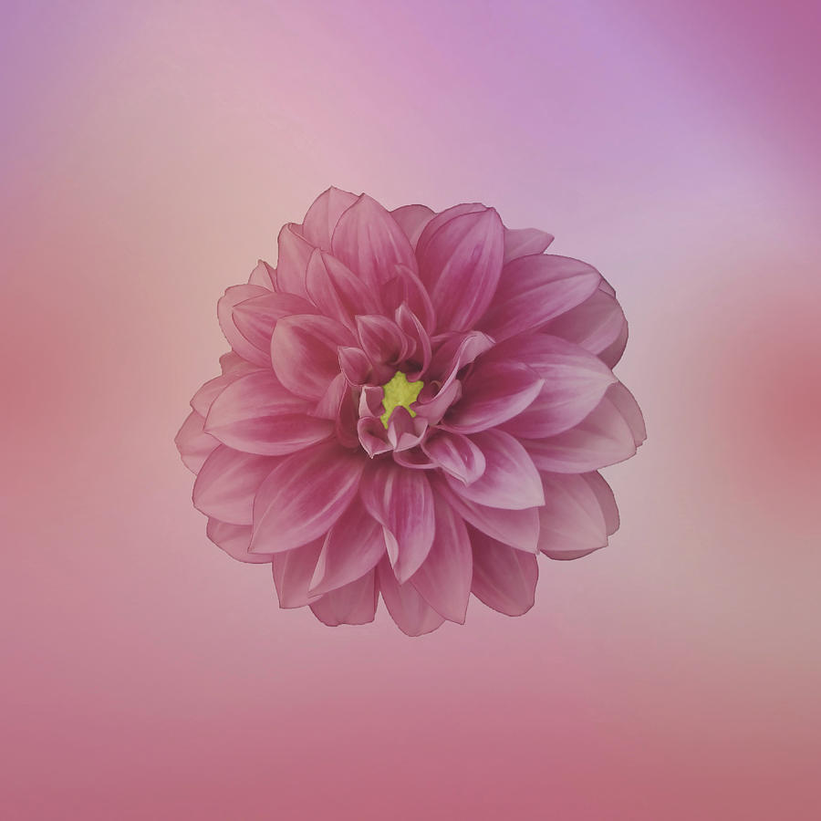 Dahlia Beauty On Pastel 2 Photograph
