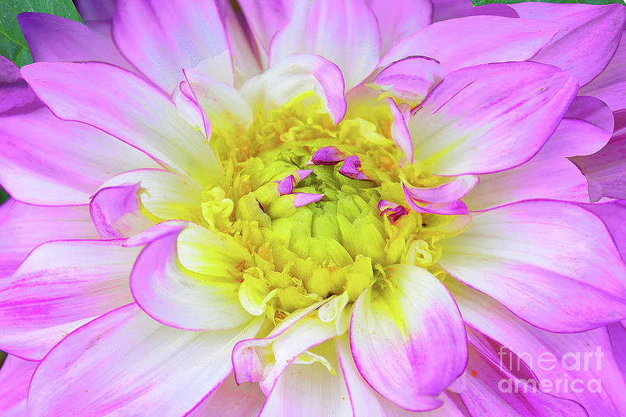 Dahlia Blossom In Mauve,white And Yellow Photograph