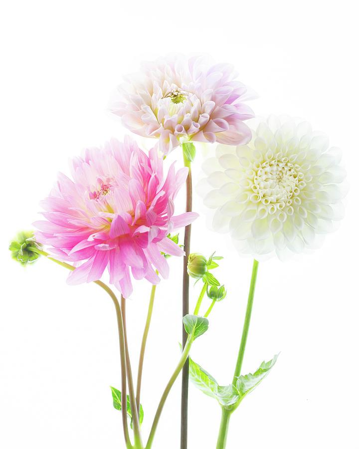 Dahlia Bouquet by Rebecca Cozart
