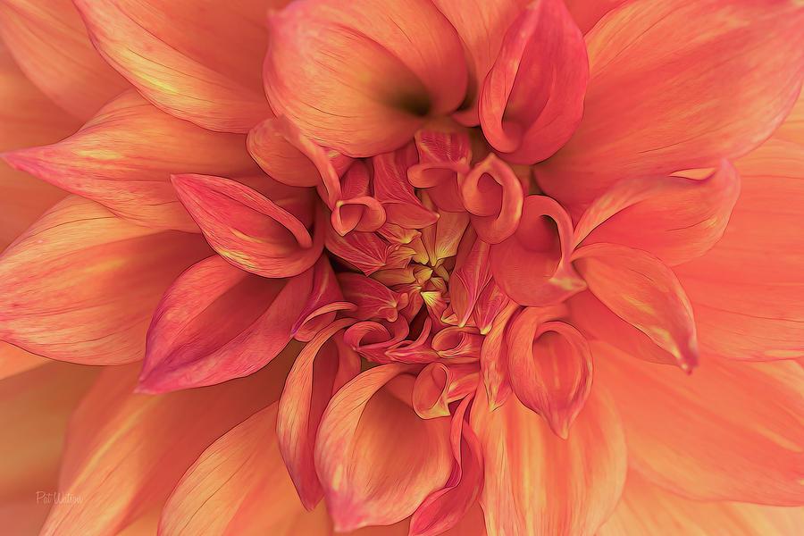 Flower Photograph - Dahlia Curves by Pat Watson