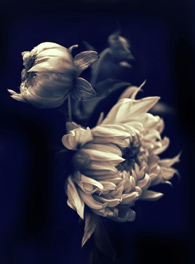 Flower Photograph - Dahlia Duet by Jessica Jenney