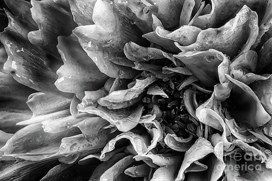 Dahlia flower in black and white macro by Simon Bratt Photography LRPS