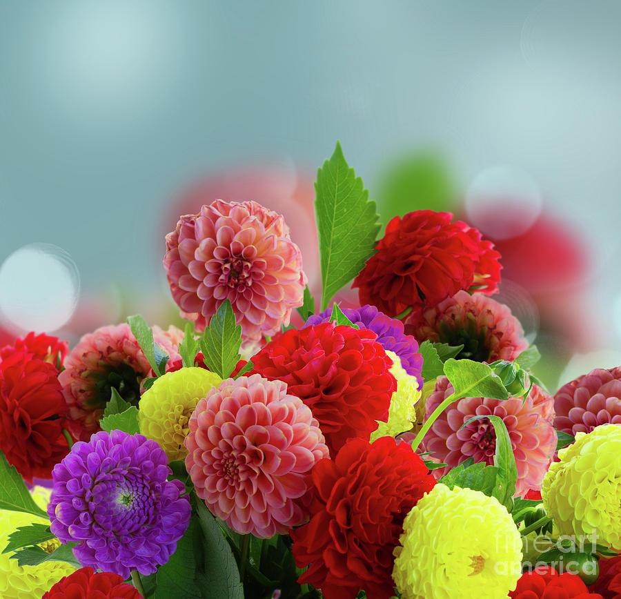 Dahlia Flowers Photograph