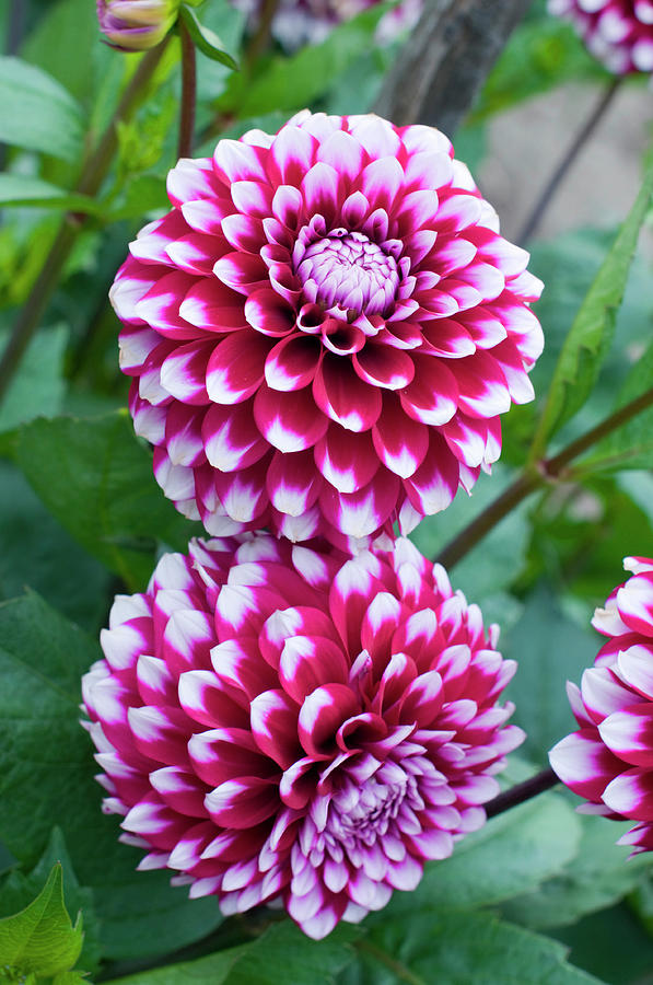 Dahlia Flowers In The Dahlia Garden In By Lonely Planet