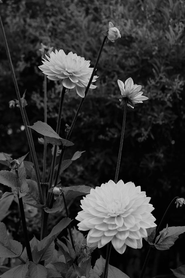 Dahlia in Black and White by Loretta S