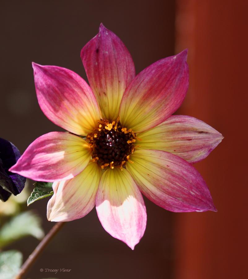 Dahlia, Mystic Sparkler by Tracey Vivar
