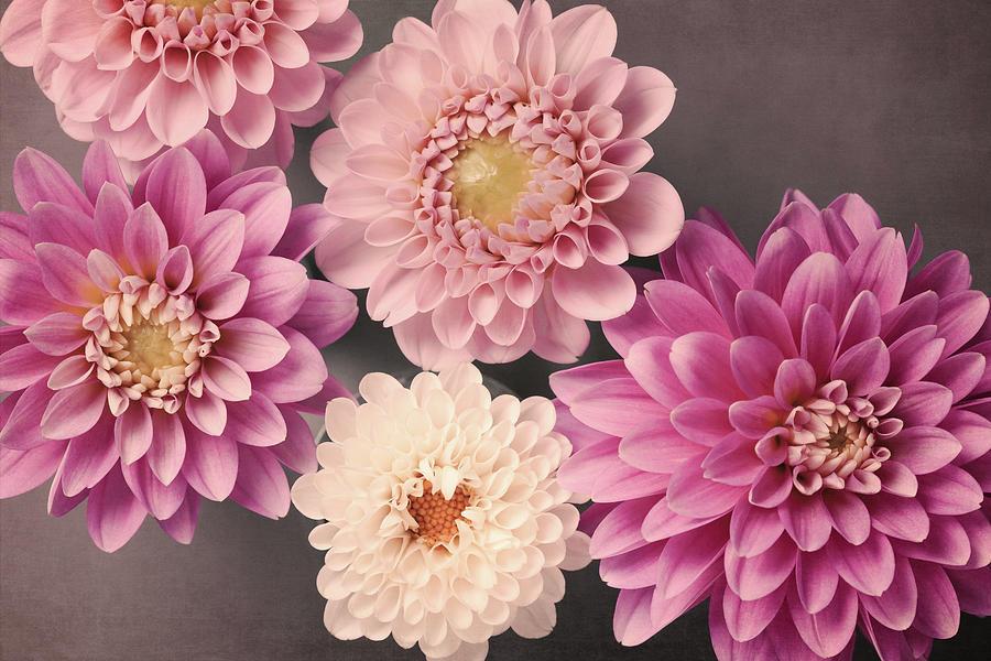 Dahlia No. 52 by Allison Trentelman