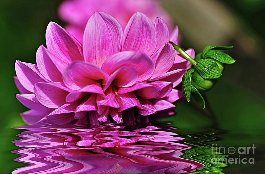 Reflections Photograph - Dahlia On Water by Kaye Menner