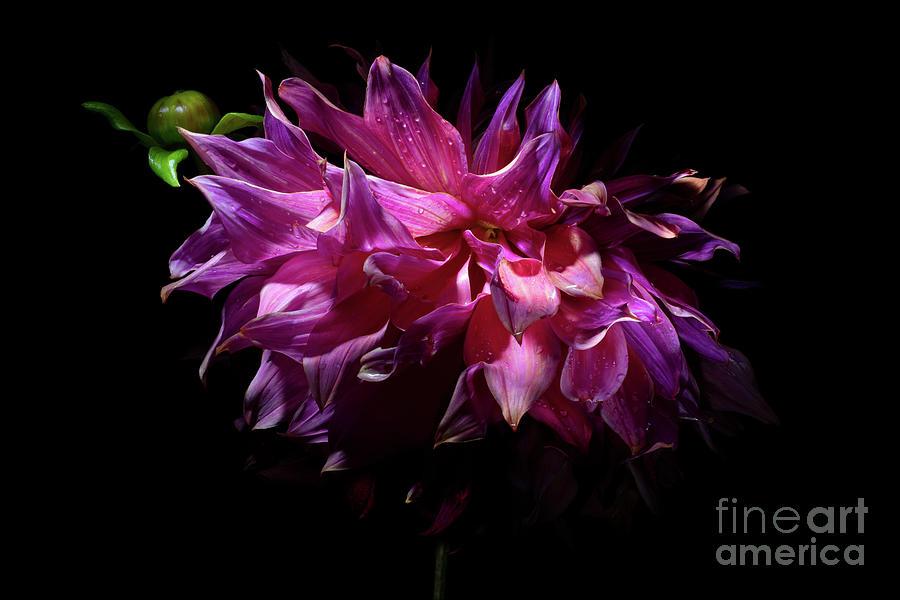 Dahlia Penhill Dark Monarch by Ann Garrett