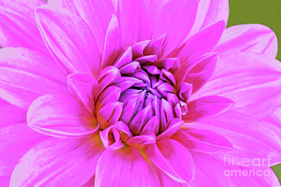 Dahlia Portrait In Pink And Lavender Photograph