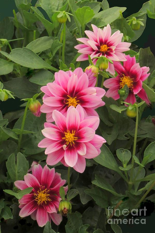 Dahlia quintet by Frank Townsley