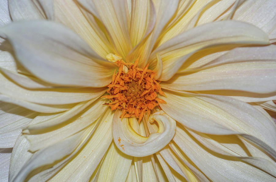 Dahlia Summertime Beauty by Claire Turner