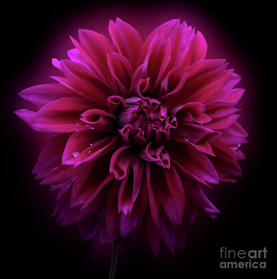 Dahlia 'Thomas Edison' by Ann Jacobson