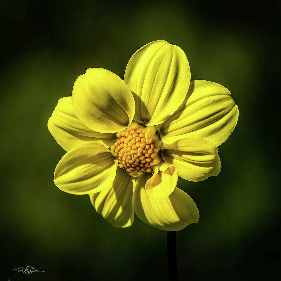 Dahlia yellow Hammer Photograph