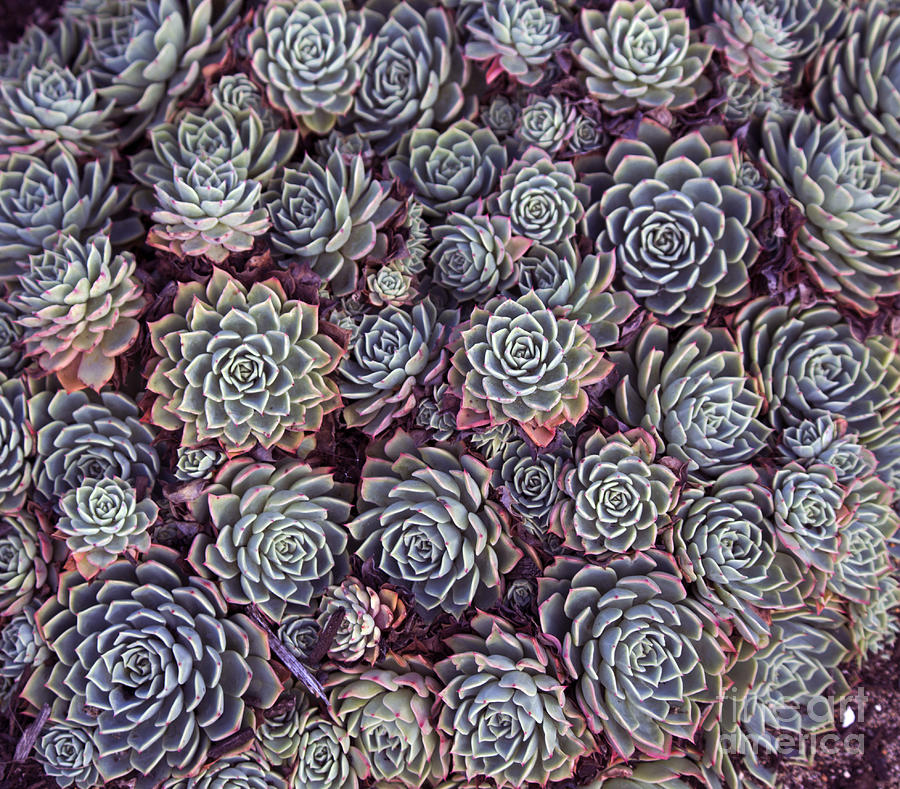 Baskets Photograph - Dainty Succulents With Thick Skin Or by Alybaba