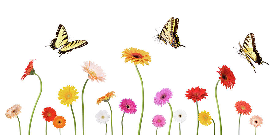 Daisies And Butterflies Photograph by Liliboas