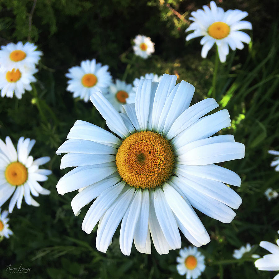 Daisies by Anna Louise