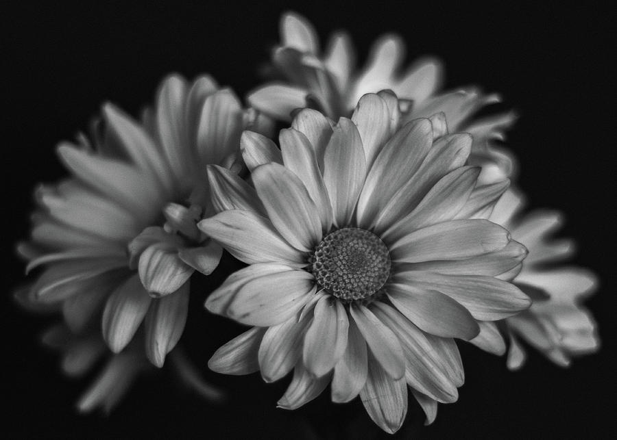 Daisies Photograph by Laura Terriere