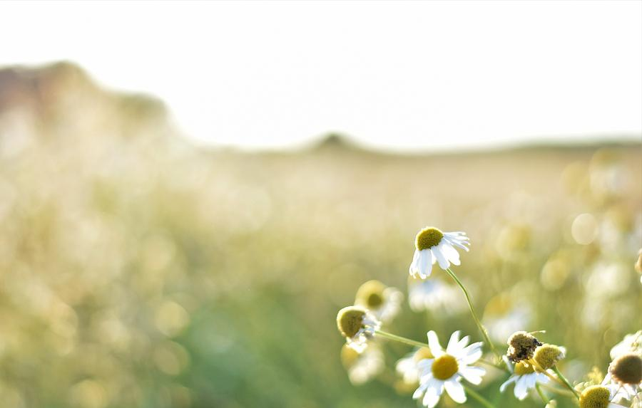 Daisies Photograph by Michal Malagowski