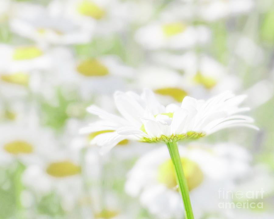 Daisy Among Daisies by Hal Halli
