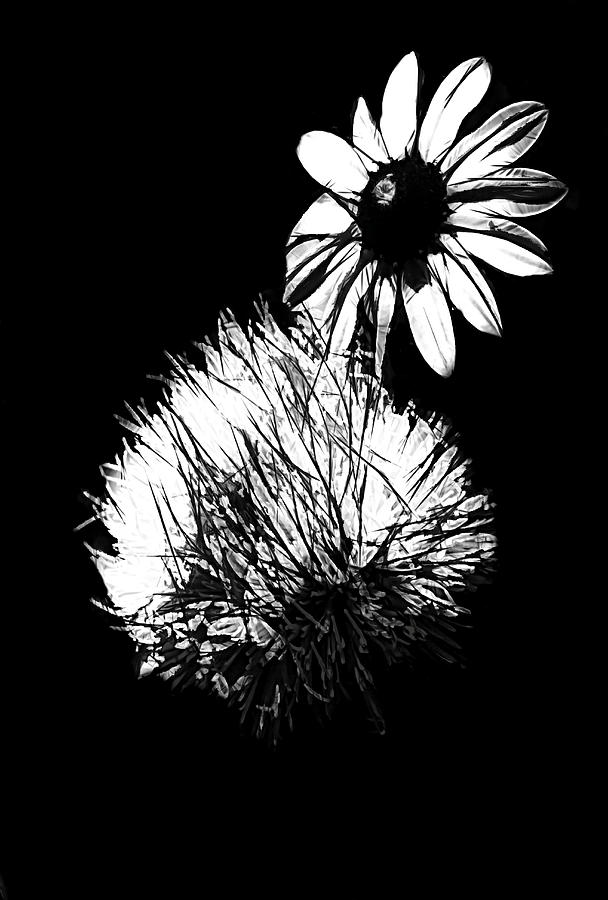 Daisy Photograph - Daisy And Thistle Black And White by Rosalie Scanlon