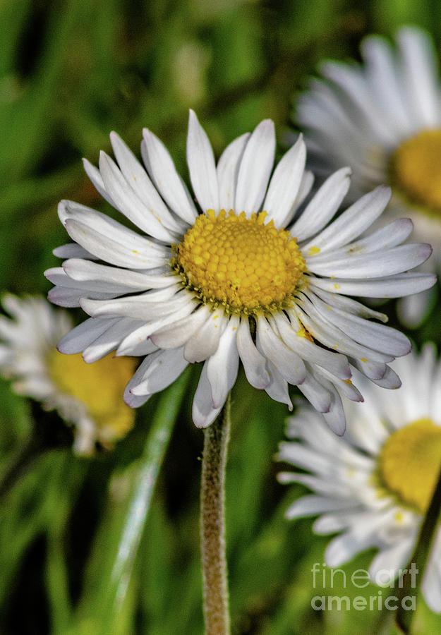 Daisy Daisy Daisy I do by Mandi Hibberd